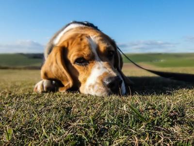 animal-dog-pet-sad-large